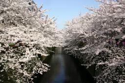 sakura-megurogawa.jpg